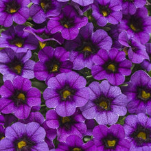 Load image into Gallery viewer, Proven Winners - Calibrachoa - Superbells -Grape Punch