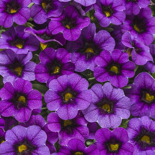Proven Winners - Calibrachoa - Superbells -Grape Punch