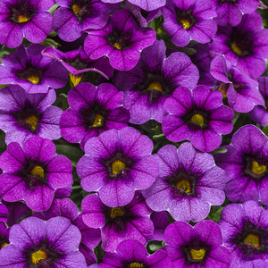 Proven Winnwers Superbells Grape Punch