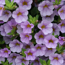 Load image into Gallery viewer, Proven Winners - Calibrachoa - Superbells - Miss Lilac