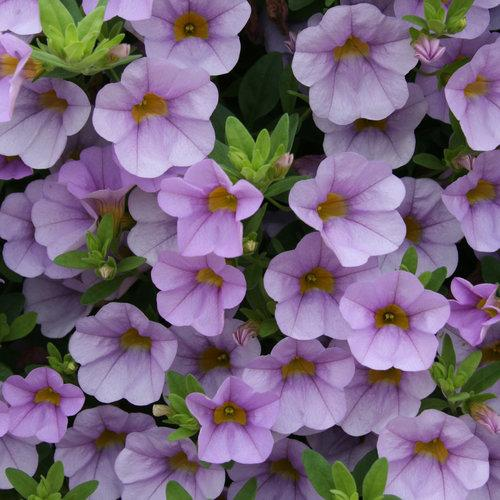 Proven Winners - Calibrachoa - Superbells - Miss Lilac