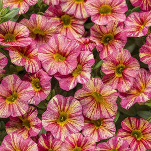 Proven Winners - Calibrachoa - Superbells - Tropical Sunrise