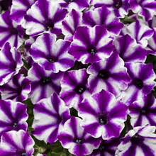 Load image into Gallery viewer, Proven Winners - Supertunia - Mini Vista - Violet Star