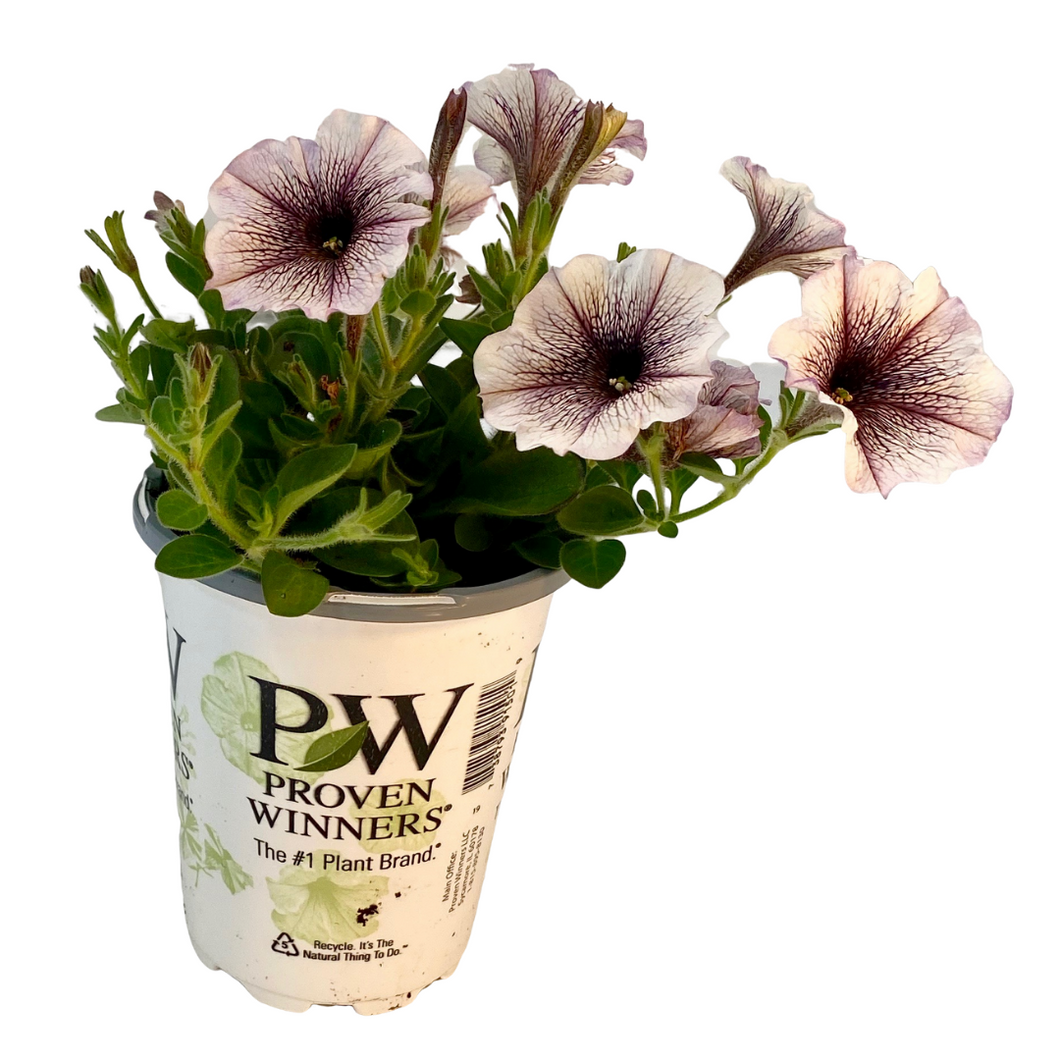 Proven Winners - Supertunia - Latte