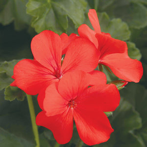 Proven Winners - Geranium - Timeless Orange