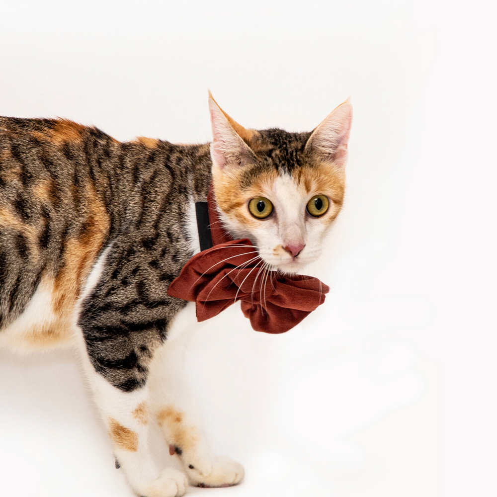 Petsy Amaya Cat Bow Tie & Strap - Rustic Orange