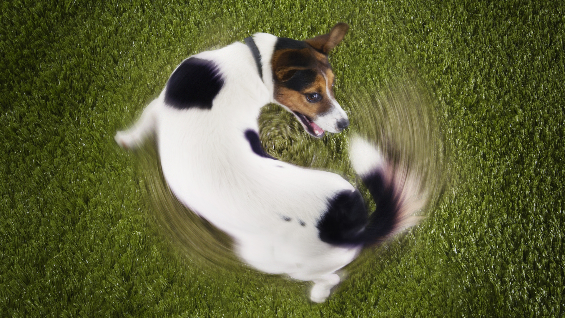 Why does my dog chase his tail?