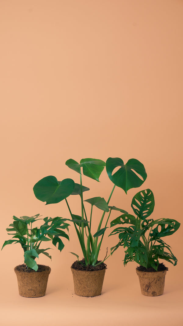 Monstera Obsession Trio
