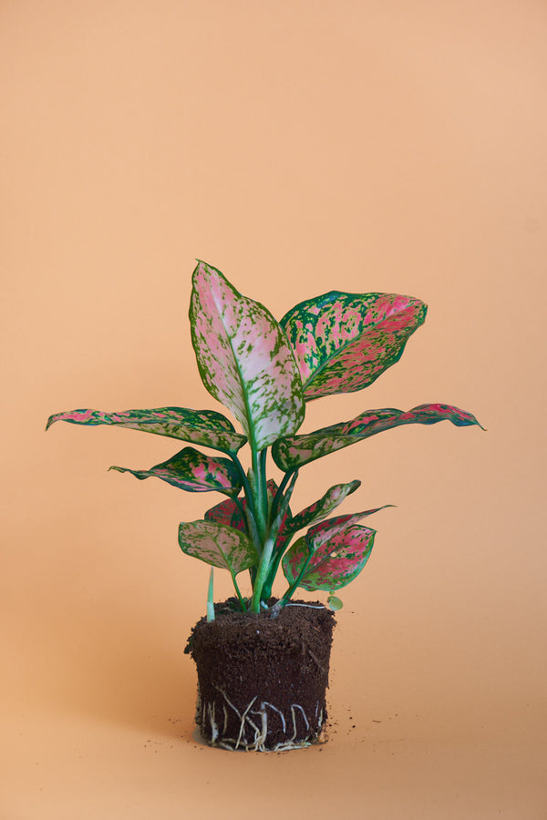 "Aglaonema ""Spotted Star"""