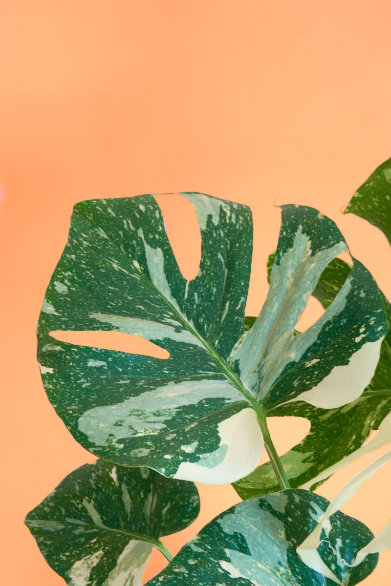 Monstera Variegata Thai Constellation