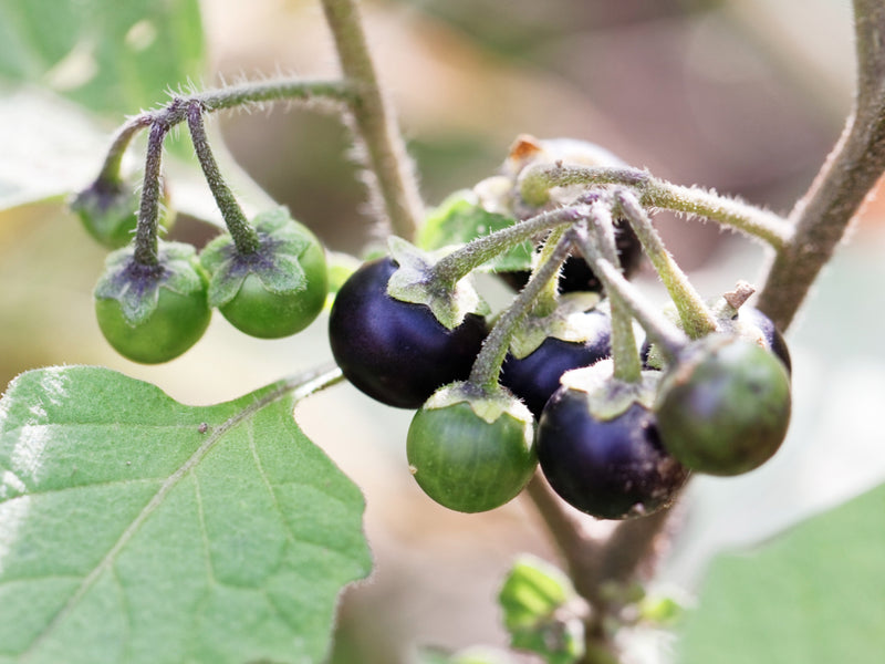 Can You Eat The Nightshade Berry? | Interesting Facts About The Nightshade Berry
