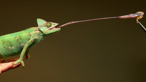 chameleons tongue interesting facts animals with the weirdest tongues