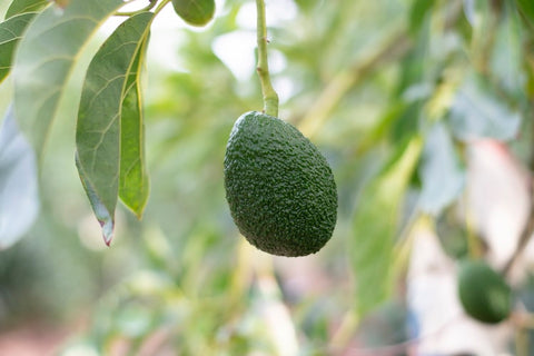 ancient origins of the avocado