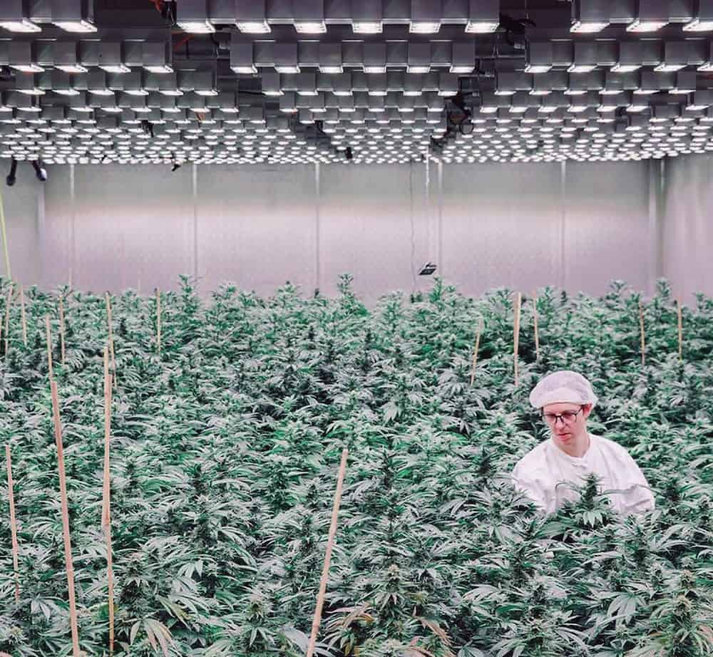 Cannabis plants get inspected in a massive garden lit by LEDs/ Courtesy of SANlight