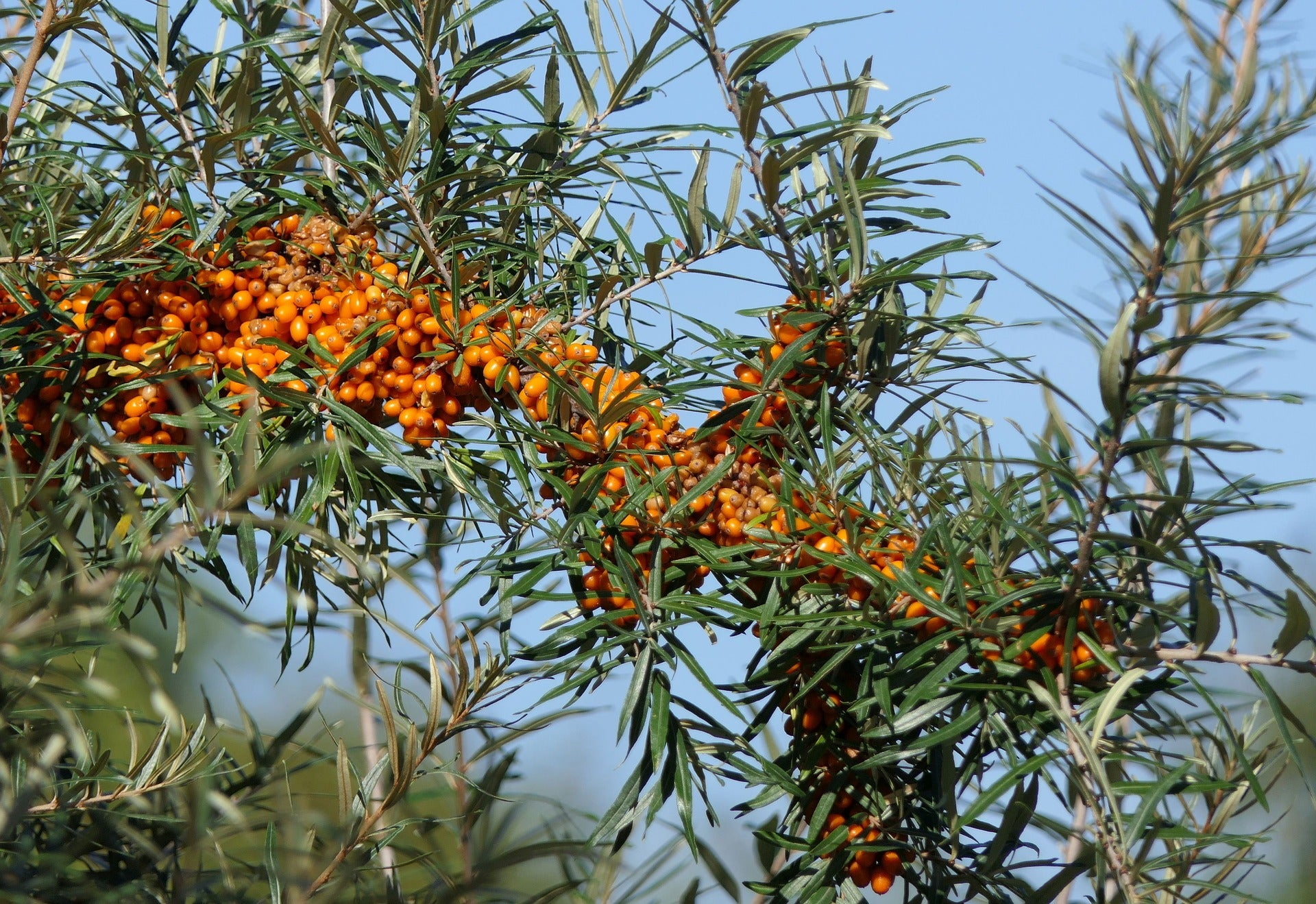sea-buckthorn-3701961_1920.jpg
