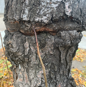 Tree Damage Series: Engulfing Forgotten Chains and Inconvenient Barriers