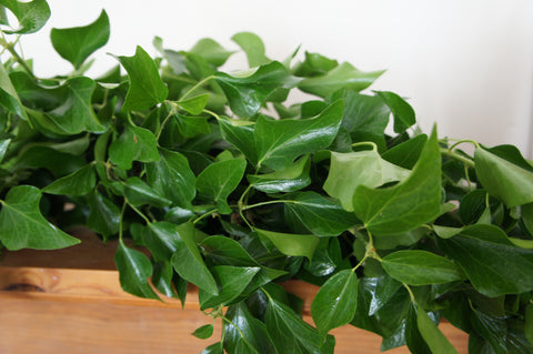 Fresh Ivy garland