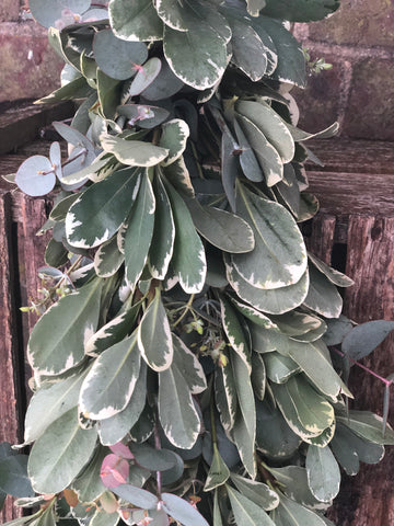 Eucalyptus and pittosporum foliage garland