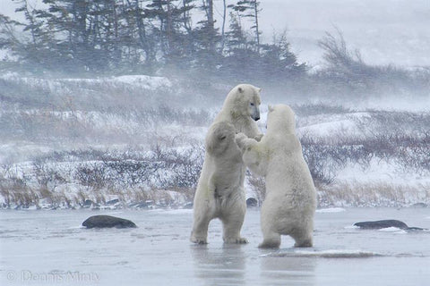 Sparring Polar Bears, Churchill, Manitoba, Canada