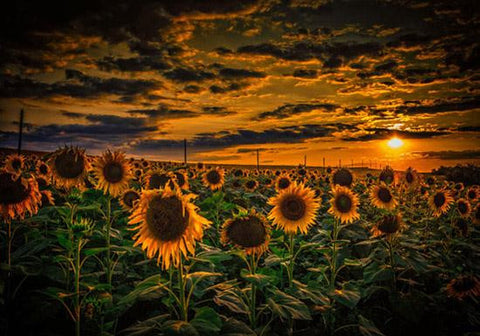 Sunset with Sunflowers