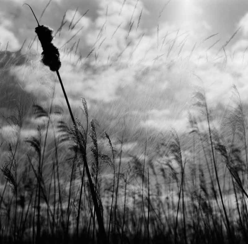 Black and white photograph of grass blowing in the wind