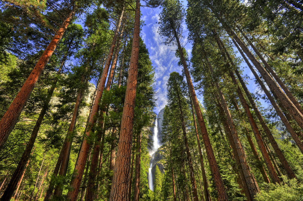 Stunning image of the forest trees in Yosemite Falls in America