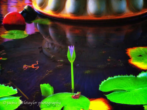 Two frogs in a pond with a blue water lily impression