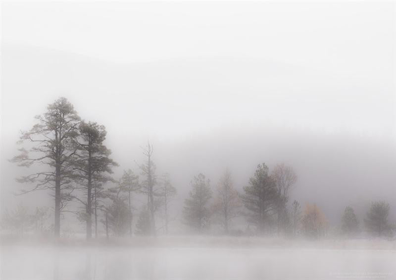 Misty photograph of pine trees in the morning