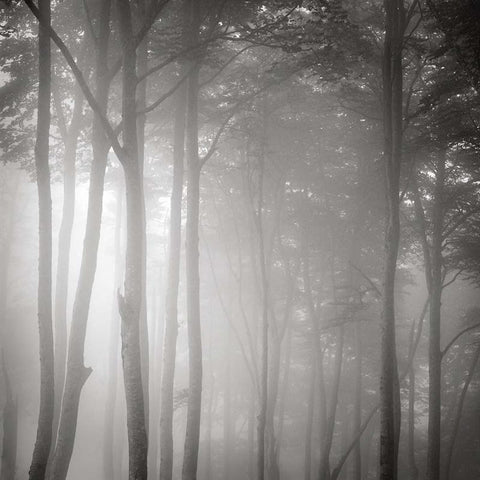 Beech Forest, Pyrenees, France