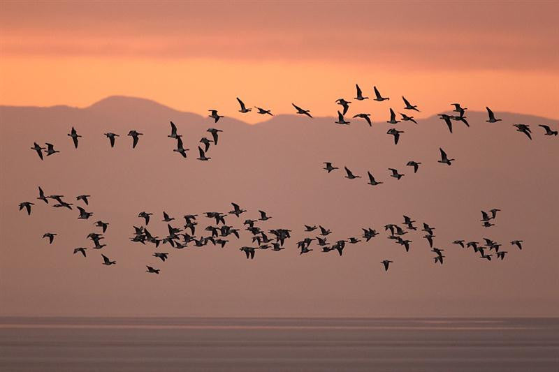 Barnacle Geese at sunrise