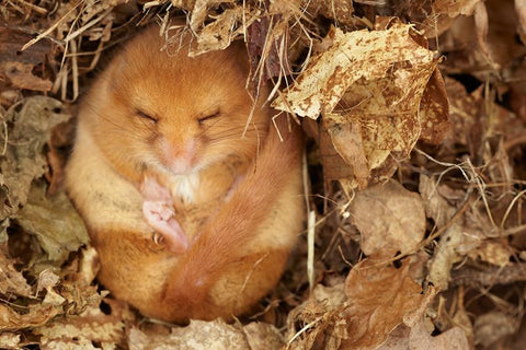 Common Dormouse