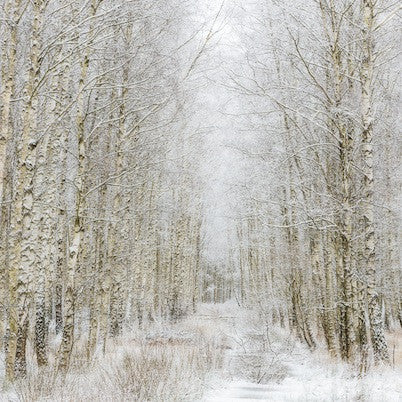 Impressionist photograph of silver birch trees in Winter with snow on the ground