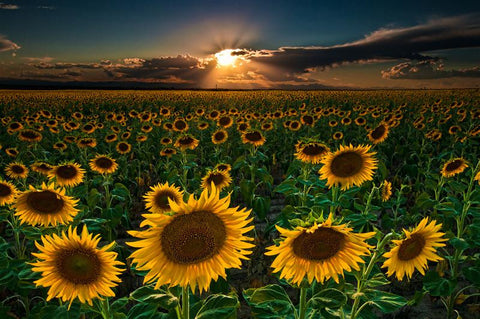Sunflowers Forever