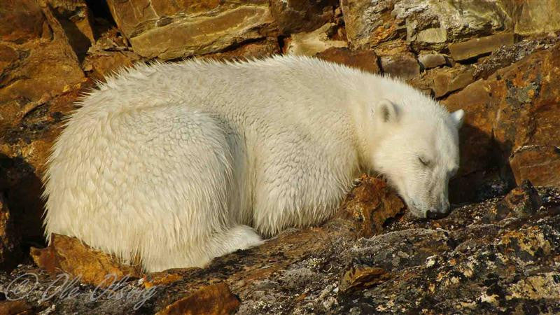 A stunning photograph of a sleeping polar bear in the summer sun