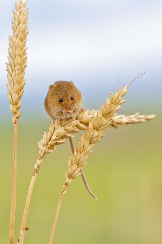 Harvest Mouse on Barley