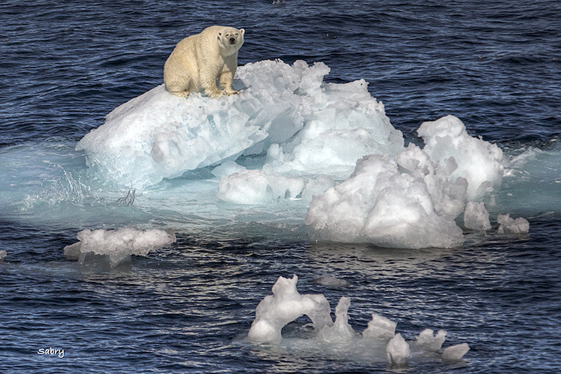 Photograph of a polar bear sitting on a floating iceberg after a long swim