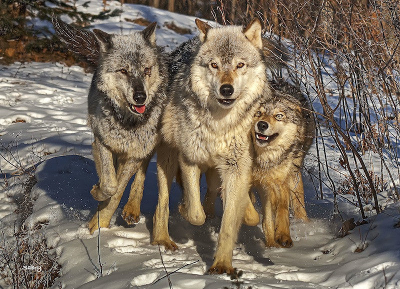 Close Wolf Family