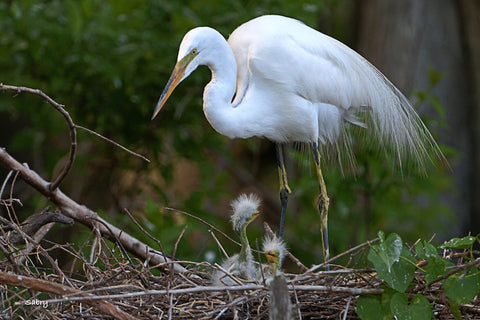 Giant Egret Nest