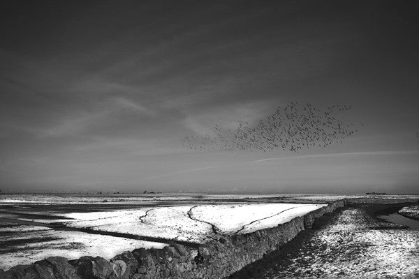Black and white photograph of Brent geese flying over the fields in Lindisfarne