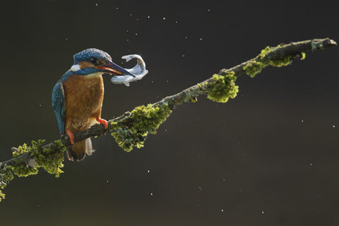 Kingfisher with its catch