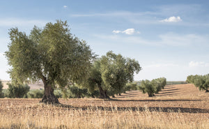 EXTRA VIRGIN OLIVE OIL: THE NATURAL PURITY OF CALABRIA