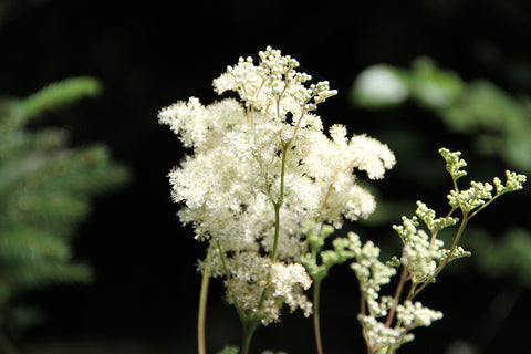 Meadowsweet nature's advil for horses horse pain killer