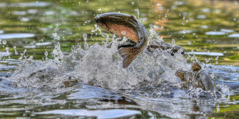 A Michigan trout jumps from a stream.