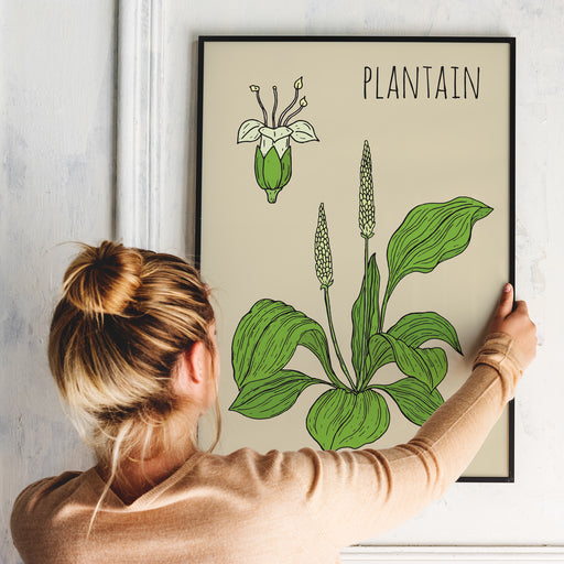 Plantain Botanical Poster