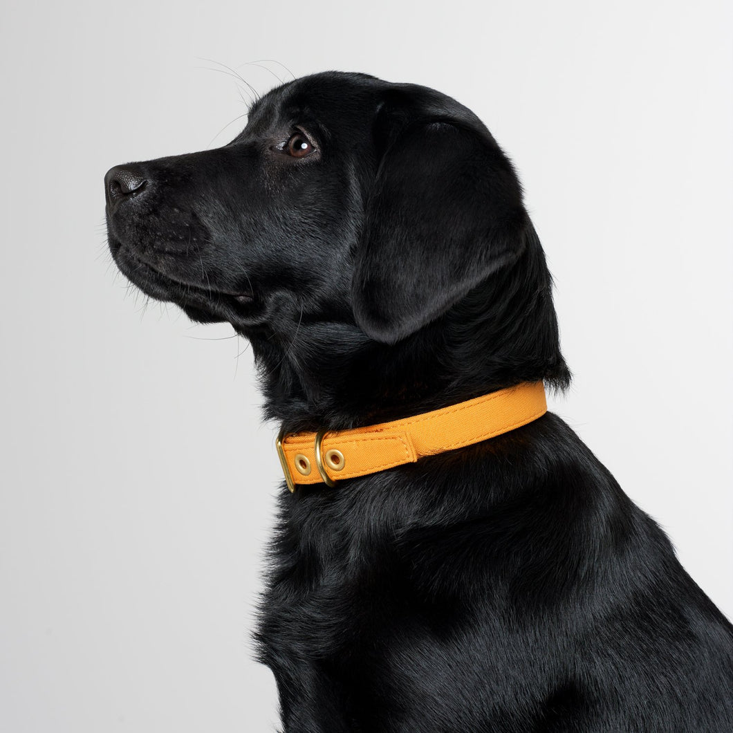 All Weather Canvas Dog Collar Mustard