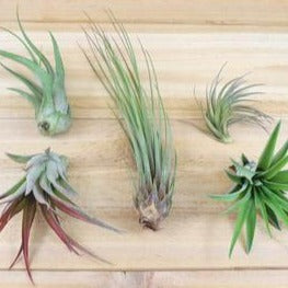 Extra Small/Small Airplant