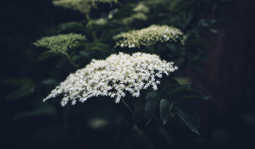 The British Elderflower