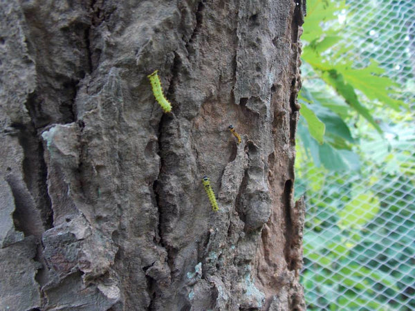 Caterpillar cultivation | sericulture on a tree