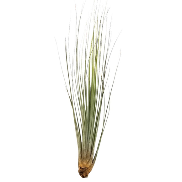 Tillandsia Airplant Variety Pick 5/10pc