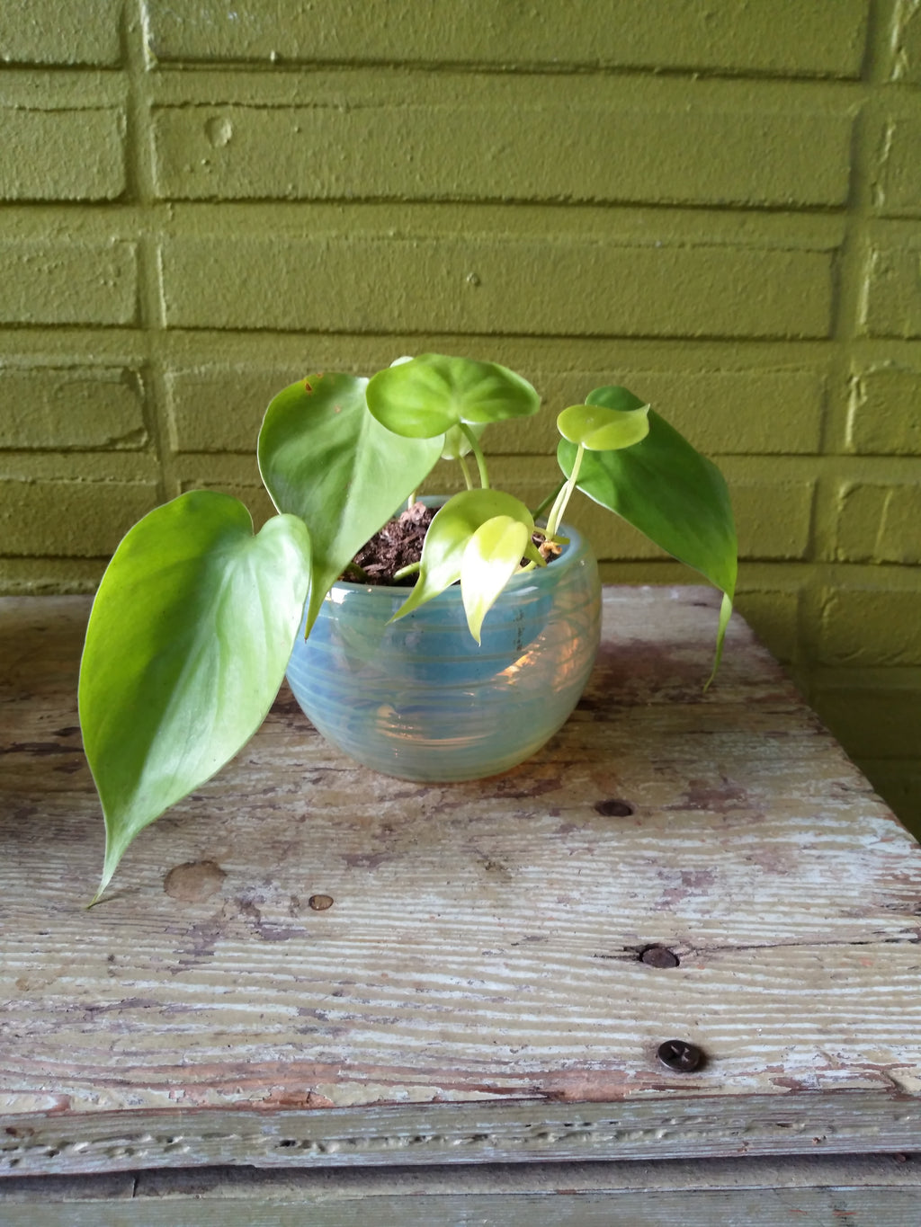 pyrex potted philodendron